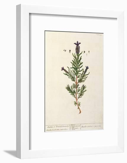 French Lavender, Plate 241 from 'A Curious Herbal', published 1782-Elizabeth Blackwell-Framed Giclee Print