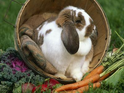 French Lop Eared Rabbit in a Tub-Lynn M^ Stone-Photographic Print