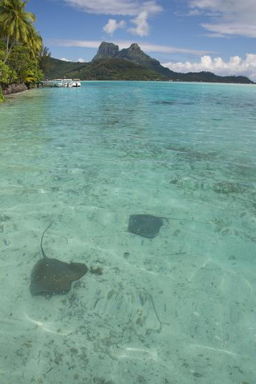 French Polynesia, Bora Bora. Haapiti. Shallow Lagoon with Stingrays-Cindy Miller Hopkins-Photographic Print