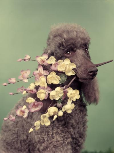 French Poodle Holding Flowers in Mouth-H^ Armstrong Roberts-Photographic Print