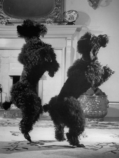 French Poodles Standing on Hind Legs-Mark Kauffman-Photographic Print