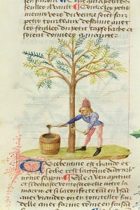 Ms Est 28 M.5.9 Fol.165R Collecting Turpentine, from 'Grand Herbier' by Pedanius Dioscorides by French School