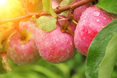 Rain Drops on Ripe Apples