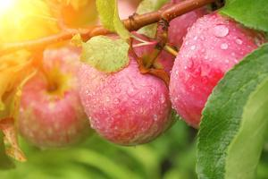 Rain Drops on Ripe Apples by frenta