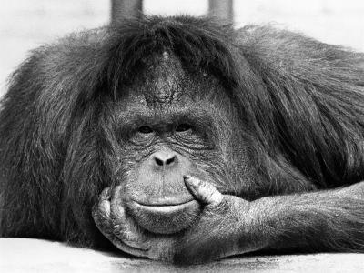 Frequent Pastime For the Crowds at Chessington Zoo in Surrey is staring at Tuan, the Orangutang--Photographic Print