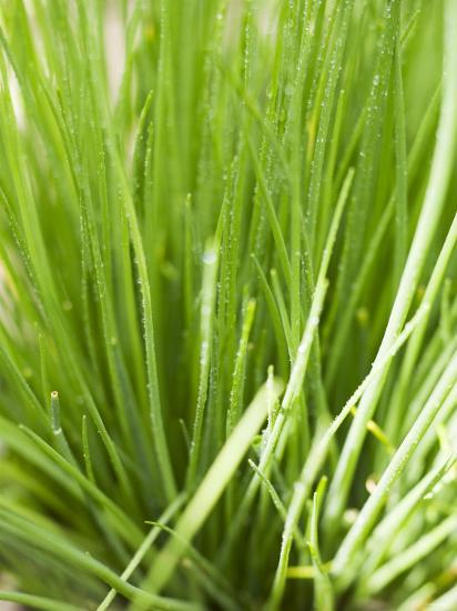 Fresh Chives in the Open Air--Photographic Print