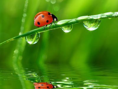Fresh Morning Dew And Ladybird-volrab vaclav-Photographic Print