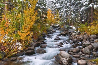 Fresh Snow on Aspens and Pines Along Bishop Creek, Inyo National Forest, California-Russ Bishop-Photographic Print