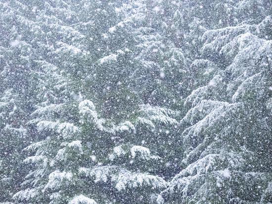 Fresh snow on evergreen trees-Sylvia Gulin-Photographic Print