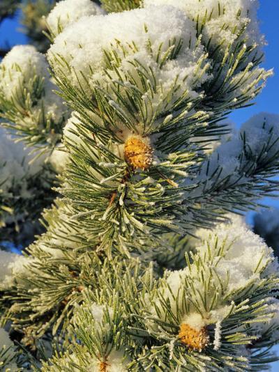 Fresh Snow on Pine Needles-Chuck Haney-Photographic Print