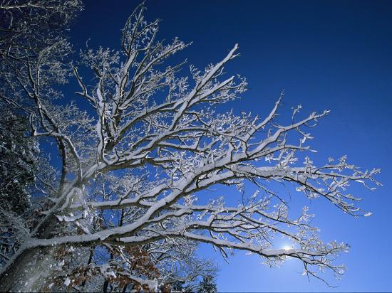 Fresh Snowfall Blankets Tree Branches Viewed against the Blue Sky-Tim Laman-Photographic Print