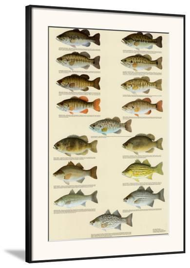 Freshwater Bass of North America--Framed Art Print