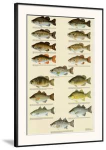 Freshwater Bass of North America
