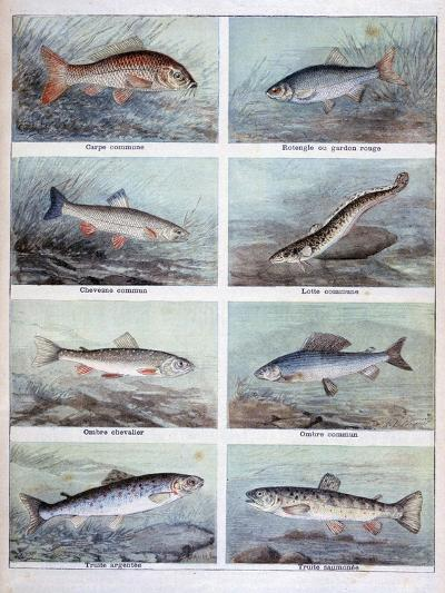 Freshwater Fish, 1898-F Meaulle-Giclee Print