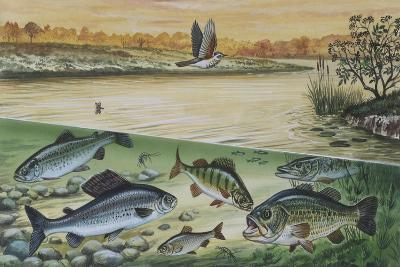 Freshwater Fishes in River--Giclee Print