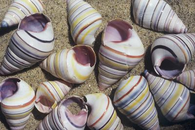 Freshwater Snail Shells-Dirk Wiersma-Photographic Print