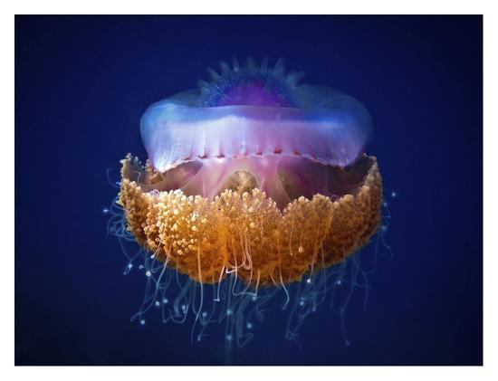 Fried Egg Jellyfish--Giclee Print