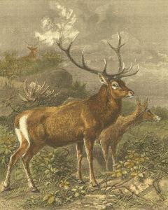 Small Red Deer by Friedrich Specht