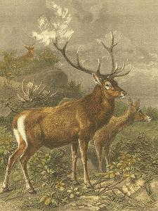Small Red Deer by Friedrich Specht