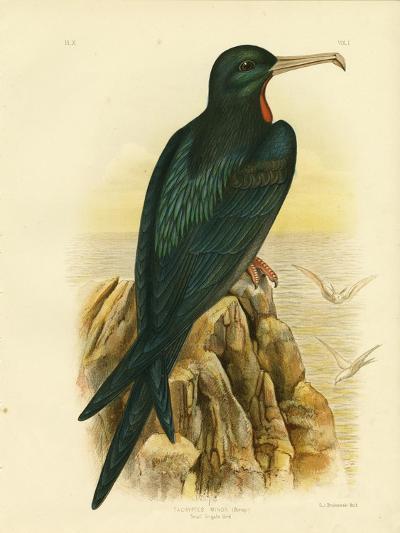 Frigate Bird, 1891-Gracius Broinowski-Giclee Print