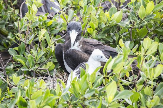 Frigate Bird Sanctuary, Barbuda, Antigua and Barbuda, Leeward Islands, West Indies-Roberto Moiola-Photographic Print