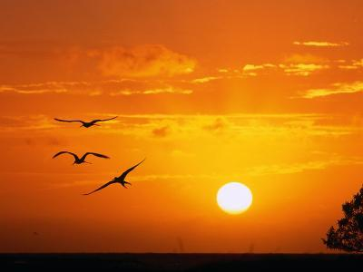 Frigate Birds Soaring at Sunrise, Cayos Cochinos, Islas De La Bahia, Honduras-Ralph Lee Hopkins-Photographic Print