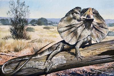 Frilled-Neck Lizard or Frilled Dragon (Chlamydosaurus Kingii), Agamidae--Giclee Print