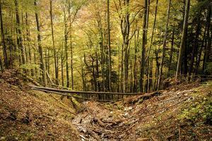 Forest, Abyss, Trunks, Autumn, Grainau, Upper Bavaria by Frina