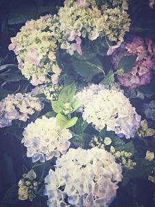 Multicoloured Blossoming Hydrangeas (Hydrangea by Frina