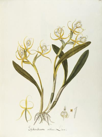 Fringed Star Orchid (Epidendrum Ciliare or Coilostylis Ciliaris)--Giclee Print