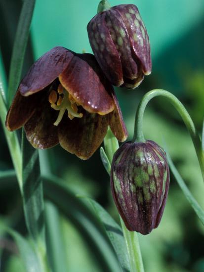 Fritillaria Davisii-Chris Burrows-Photographic Print