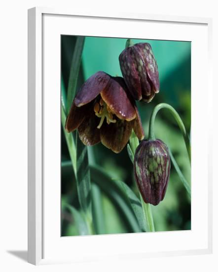 Fritillaria Davisii-Chris Burrows-Framed Photographic Print