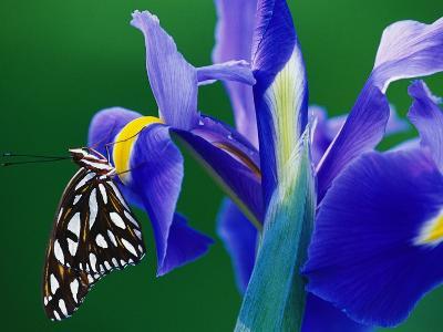Fritillary Butterfly on a Dutch Iris-Darrell Gulin-Photographic Print