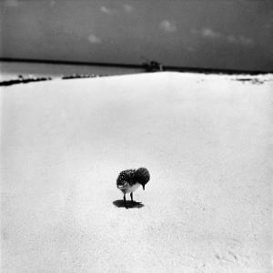 Chick on Beach Waits for Parents to Return From Their Daily Hunting, on the Great Barrier Reef by Fritz Goro