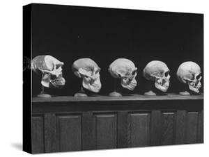 Display of Skulls Demonstrating Human Evolution by Fritz Goro