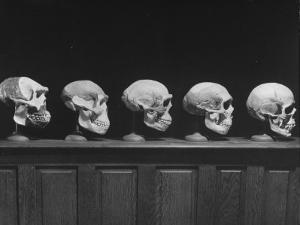 Display of Skulls Demonstrating Human Evolution by Fritz Goro