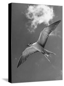 Tern Flying Through the Sky Above the Great Barrier Reef by Fritz Goro