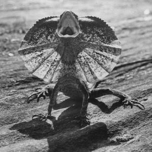 The Frilled Lizard of Australia Opening Its Frill to Ward Off Intruders by Fritz Goro