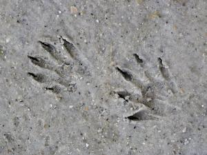 Raccoon Tracks in the Mud, Procyon Lotor, USA by Fritz Polking