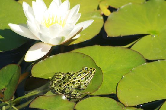 Frog and Water Lily-EFF-Photographic Print