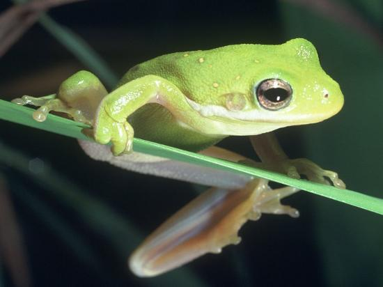 Frog Climbing on to a Leaf, Louisiana-Kevin Leigh-Photographic Print