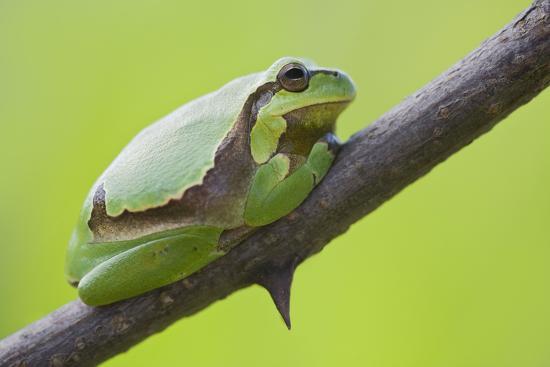 Frog, European Tree Frog, Hyla Arborea-Rainer Mirau-Photographic Print