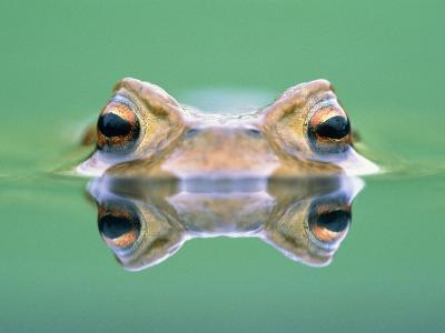 Frog in the water-Herbert Kehrer-Photographic Print