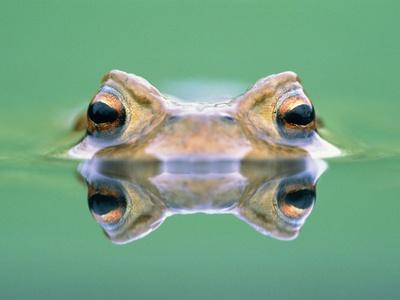 https://imgc.artprintimages.com/img/print/frog-in-the-water_u-l-pzkpyf0.jpg?p=0