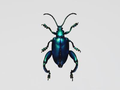Frog-Legged Leaf Beetles--Photographic Print