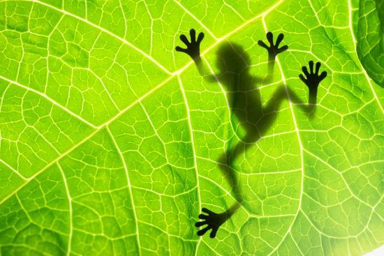 Frog Shadow on the Leaf-Patryk Kosmider-Photographic Print