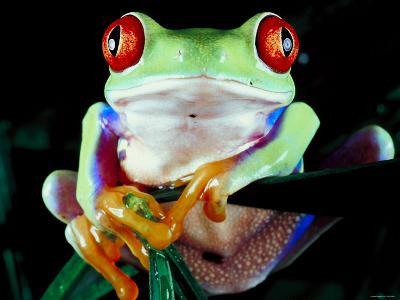 Frog with Red Eyes Perched on Tree Stick--Photographic Print