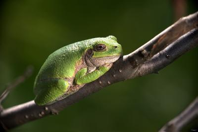 Frog-Gordon Semmens-Photographic Print