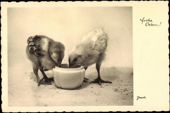 Frohe Ostern, Küken Trinken Aus Wasserschale, Amag--Giclee Print