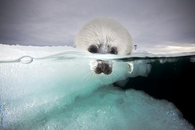 From a Greatly Diminished Ice Pack, a Harp Seal Pup Watches its Mother Swim Underwater-David Doubilet-Photographic Print